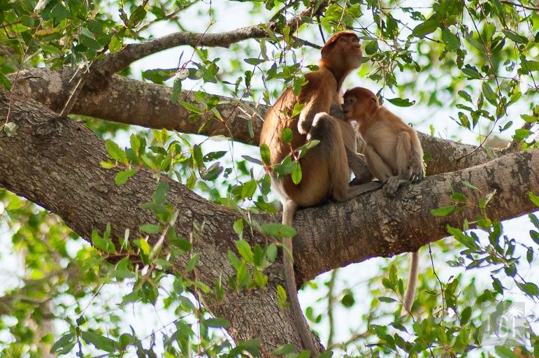 A hungry baby proboscis monkey in the jungle of Kinabatangan, Borneo