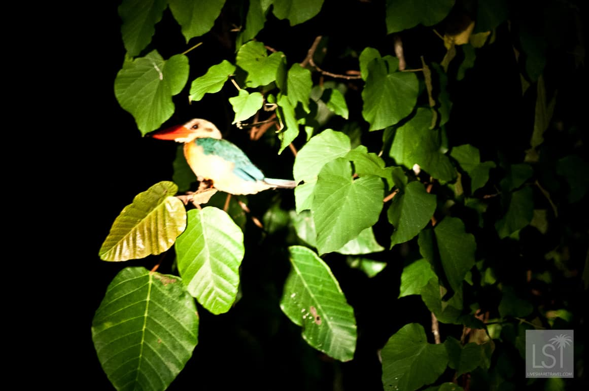 This Kingfisher was asleep on the banks of the Kinabatangan River in Sabah, Borneo
