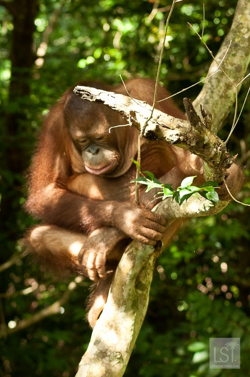 Time for a nap at the Shangri-La Rasa Ria Nature Reserve on the orangutan island of Borneo