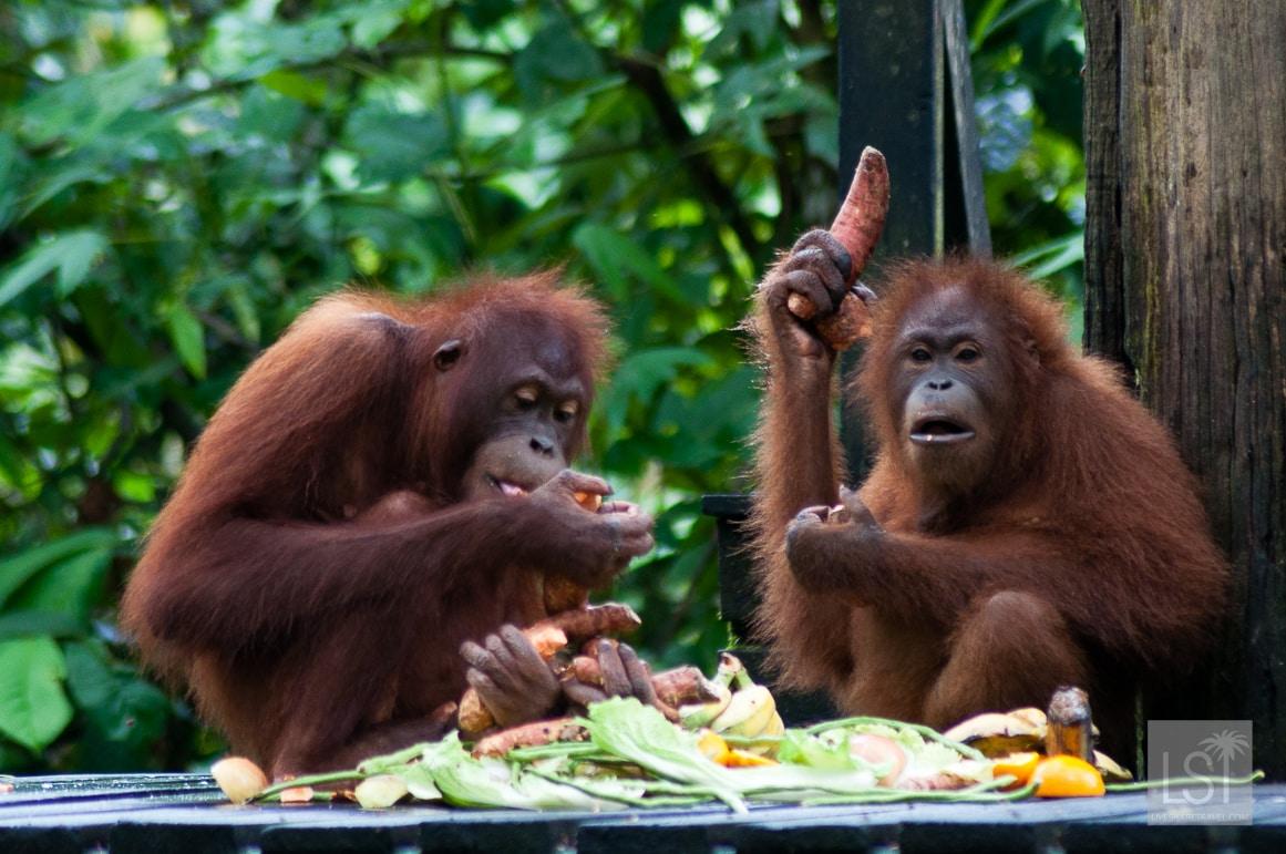 You take one potato... Orangutan Island, Sepilok Orangutan Rehabilitation Centre