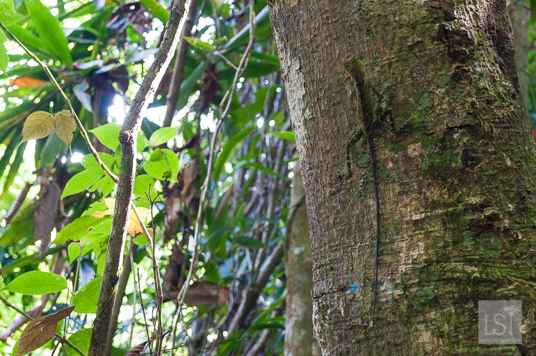 Spot the lizard? Plenty of wildlife in Kinabalu National Park