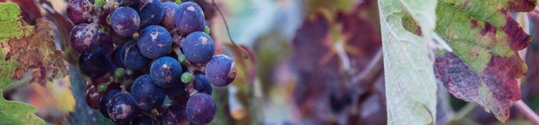 Vines growing in Stellenbosch, South Africa