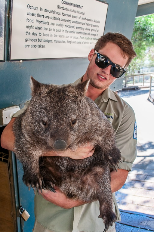 Billie the wombat here at Ballarat Wildlife Park with keeper
