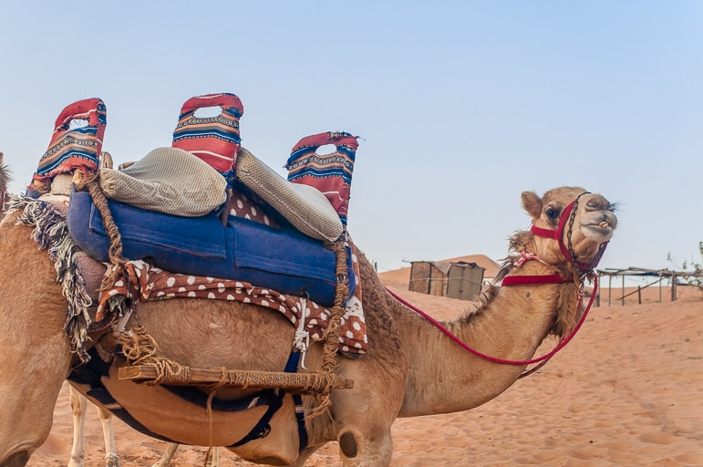 Fancy a ride? Camels in the Ras Al Khaimah desert