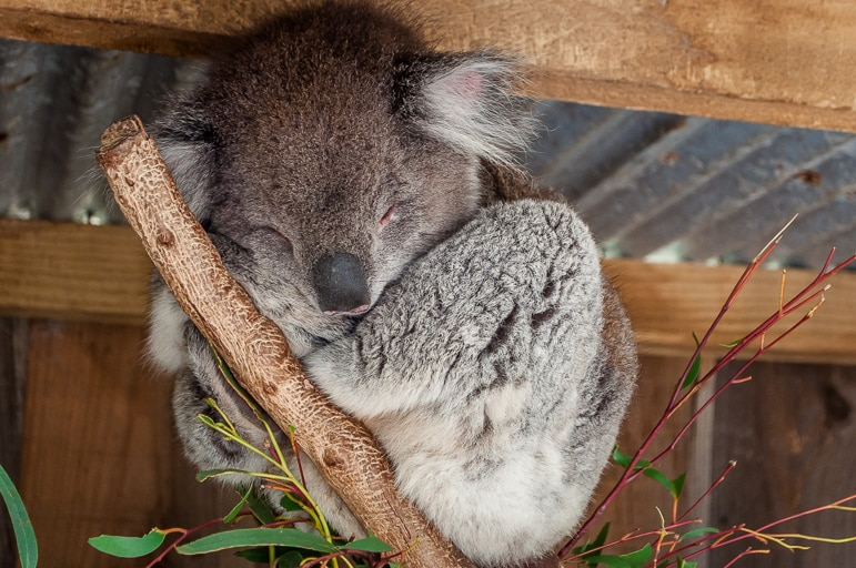 Koalas are some of the most laid back native Australian animals - they sleep for up to 23 hours a day