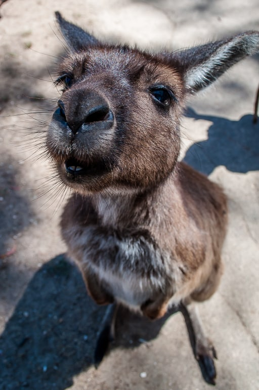 Native Australian animals - Kangaroo Island kangaroos are so mild mannered