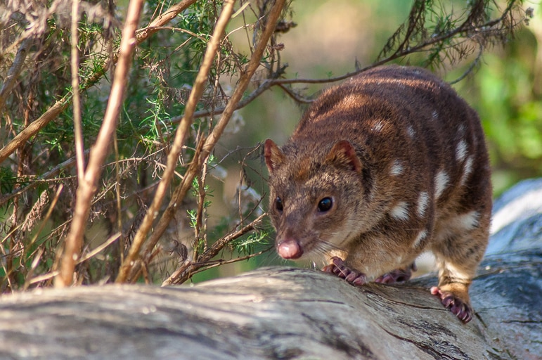 "Native Australian animals - the ""once extinct"" tiger quoll"