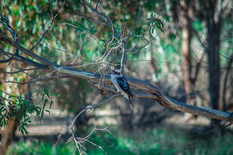 Native Australian animals - the kookaburra is one of the country's most famous birds