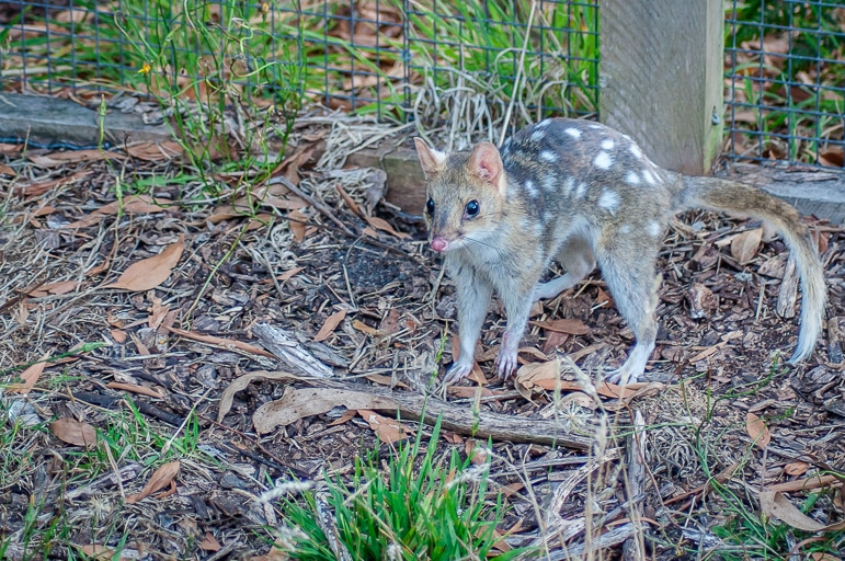 Native Australian animals - the eastern quoll