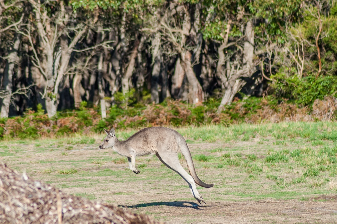Native Australian animals - there's nothing like seeing kangaroo