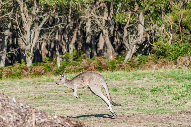 Native Australian animals - there's nothing like seeing kangaroo hopping across the countryside