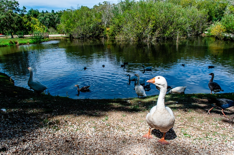 Geese at Lake House, Daylesford, near Melbourne