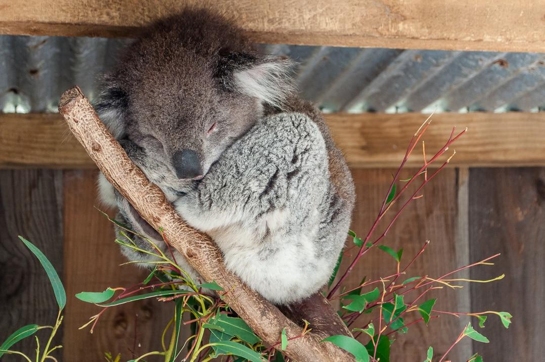 Koala on our Australian road trip