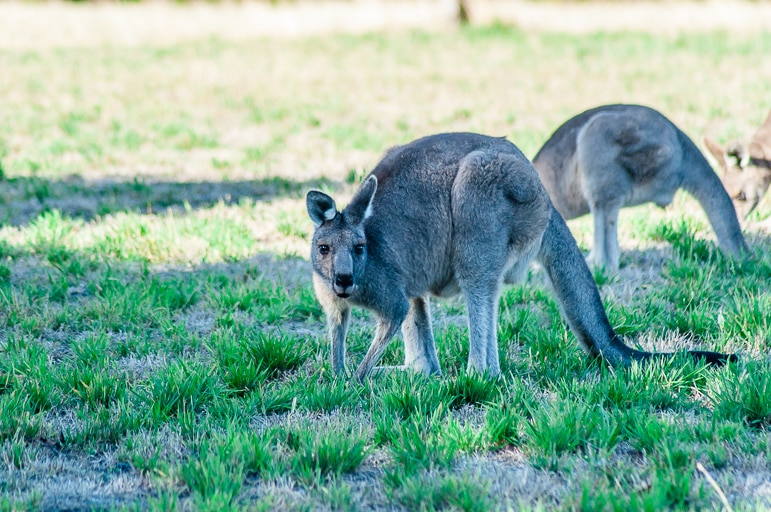 Melbourne to the Great Ocean Road itinerary - kangaroos at Great Ocean Ecolodge