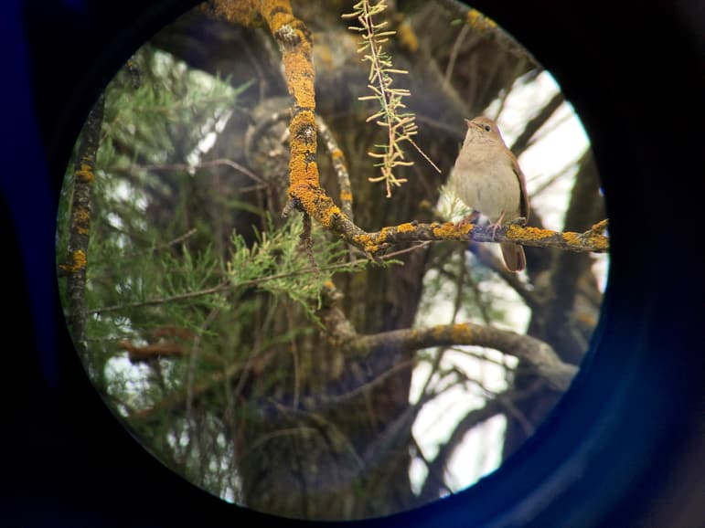 Nightingale through a telescope at Tablas de Daimiel in La Mancha, Spain