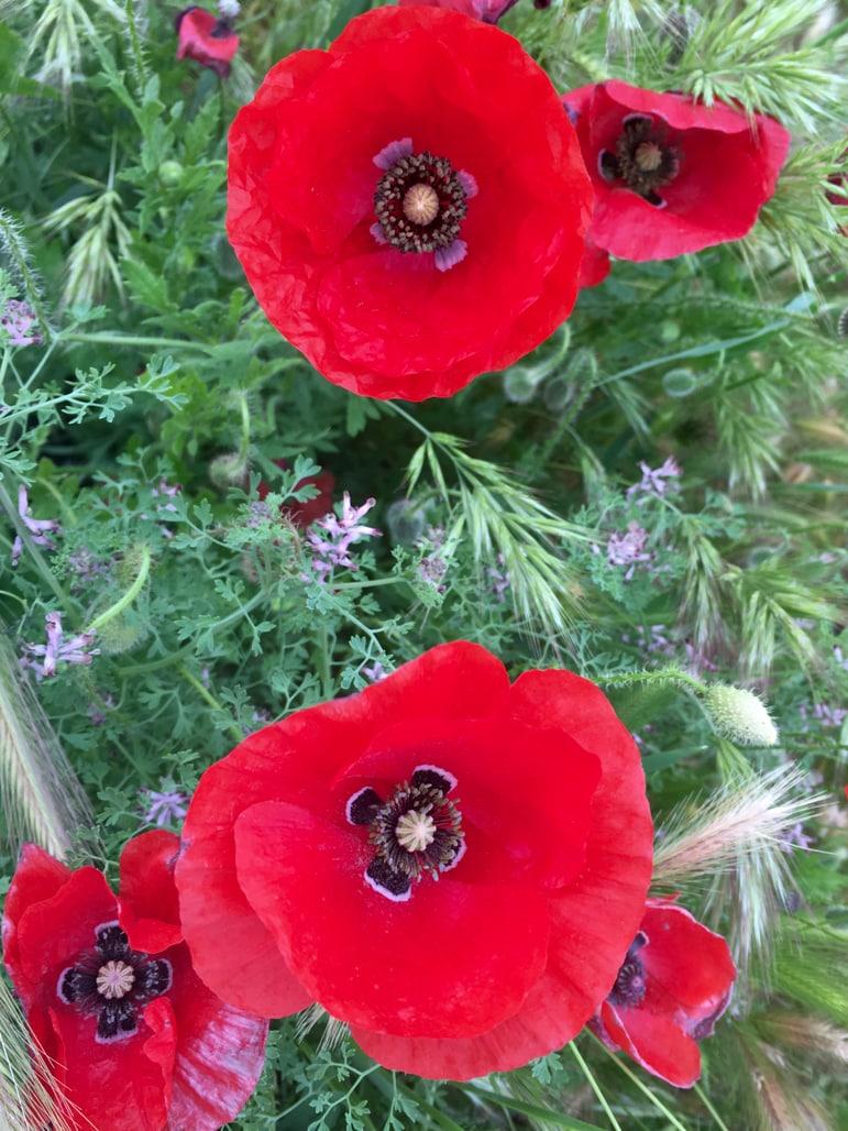Poppies at Tablas de Daimiel in La Mancha, Spain