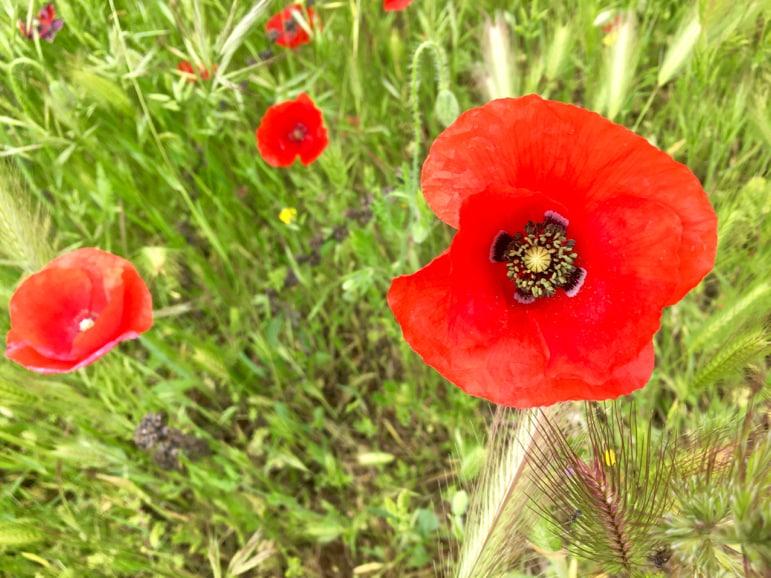 Poppy at Tablas de Daimiel in La Mancha, Spain