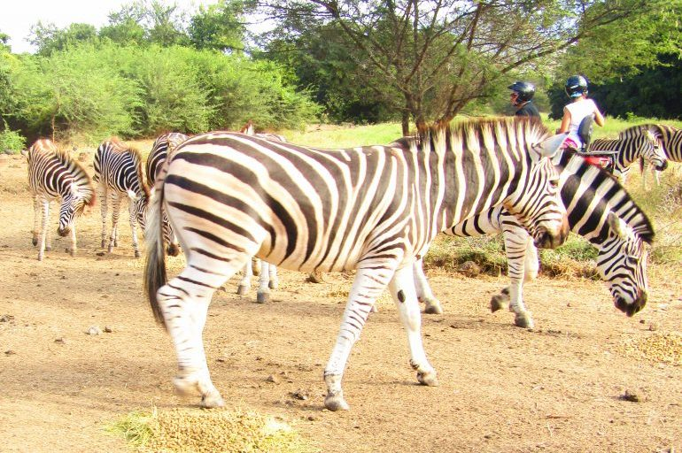 A close encounter with Zebra at Casela Nature Park