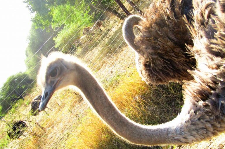 An encounter of the feathery kind at Casela Wildlife Park
