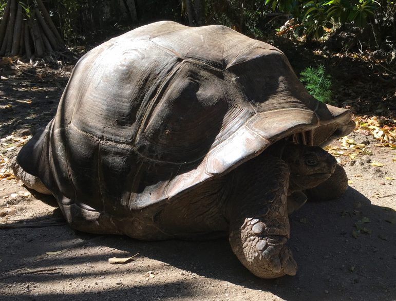 Ile aux Aigrettes Island is home to giant tortoises so wonderful to see them up close
