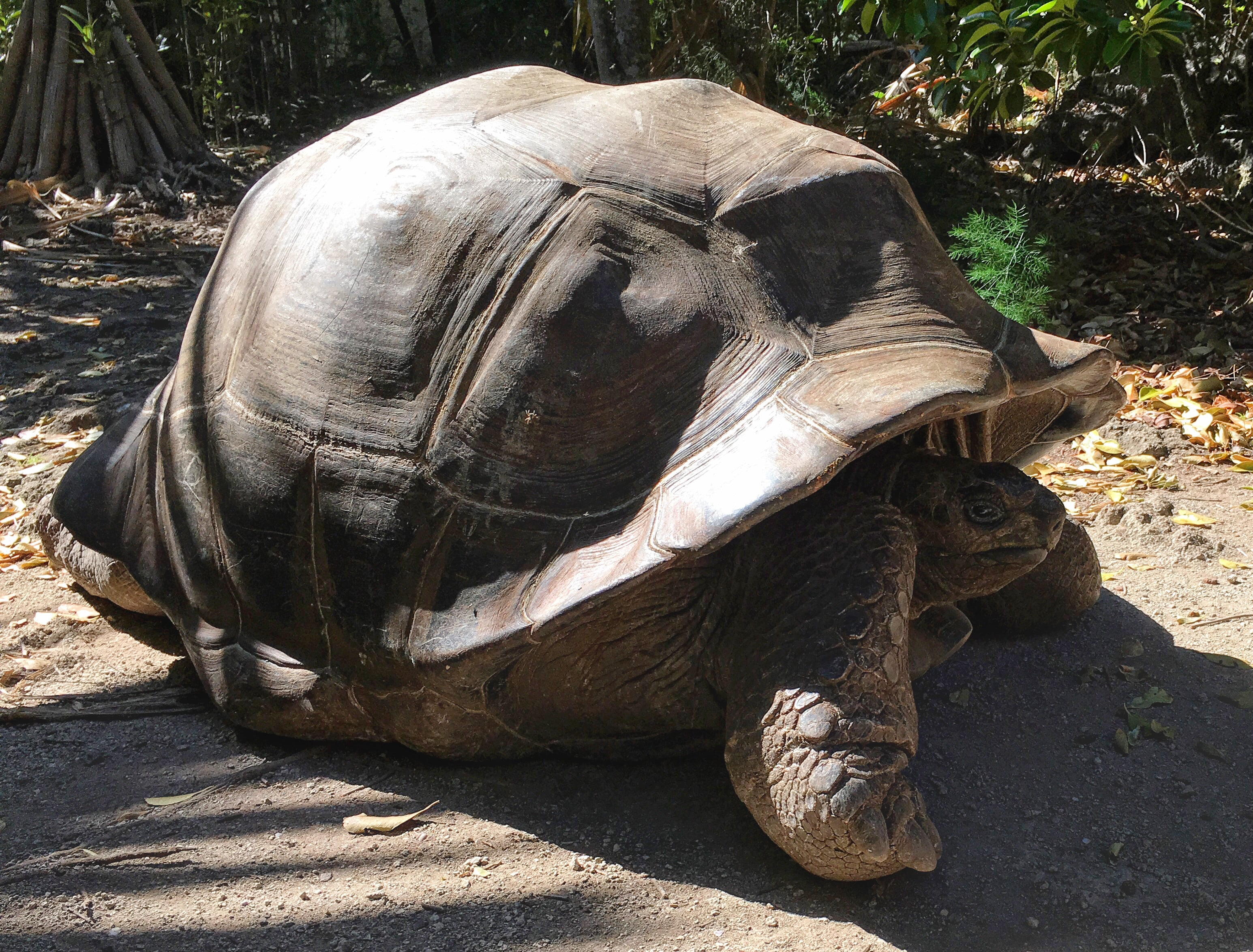 Ile aux Aigrettes Island is home to giant tortoises so wonderful to see them up close revised