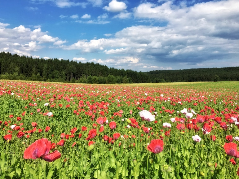 A sea of poppies at Mohndorf, Lower Austria