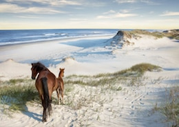 Horses on the beach in North Carolina