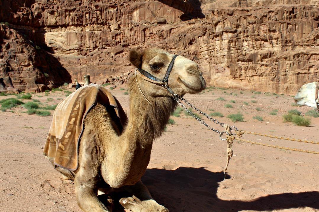 Jordan - Camel, Wadi Rum