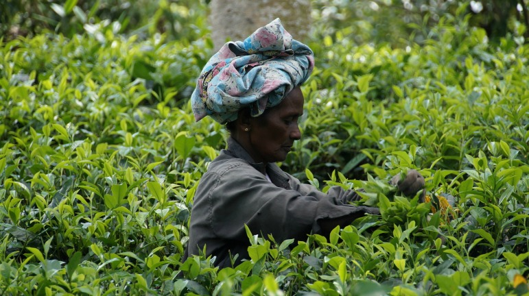 Places to go for winter sun - woman picking tea on plantation in Sri Lanka