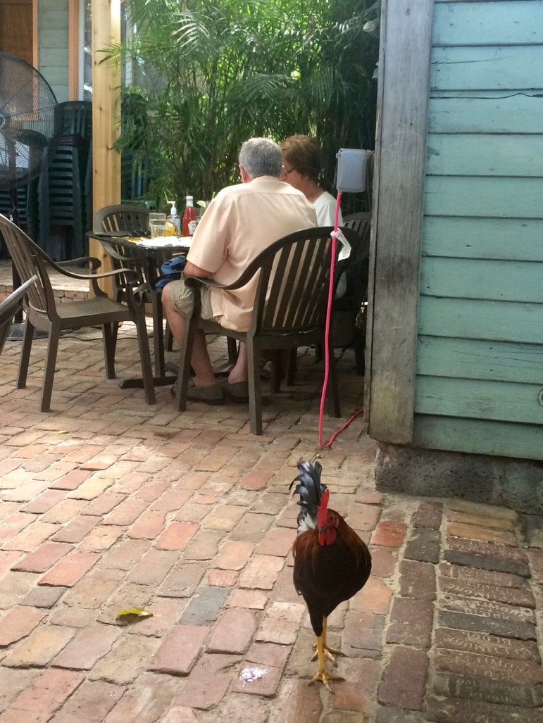 Unusual things to do in the Florida Keys - see the feral chickens of Key West