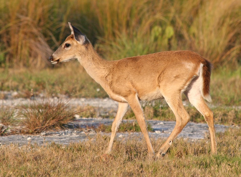 Unusual things to do in the Florida Keys - spotting Key deer pic Joseph C Boone
