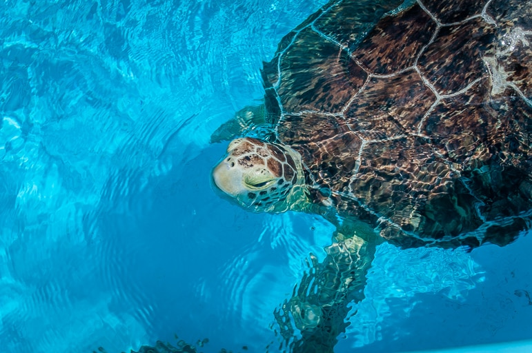 Unusual things to do in the Florida Keys - visit the Turtle Hospital in Marathon
