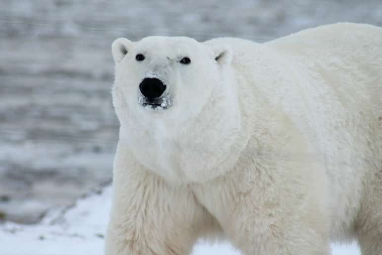 2017 best travel destinations - polar bear, arctic