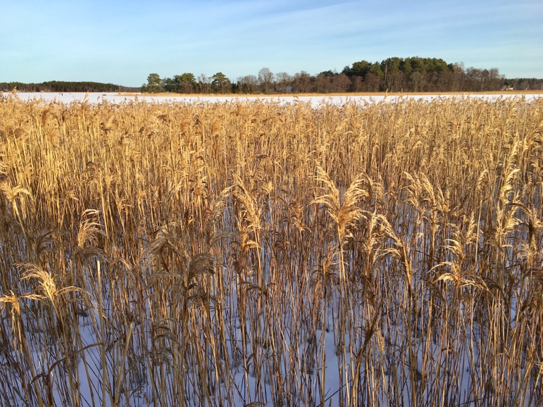 Golden reeds thrive despite the Baltic winter