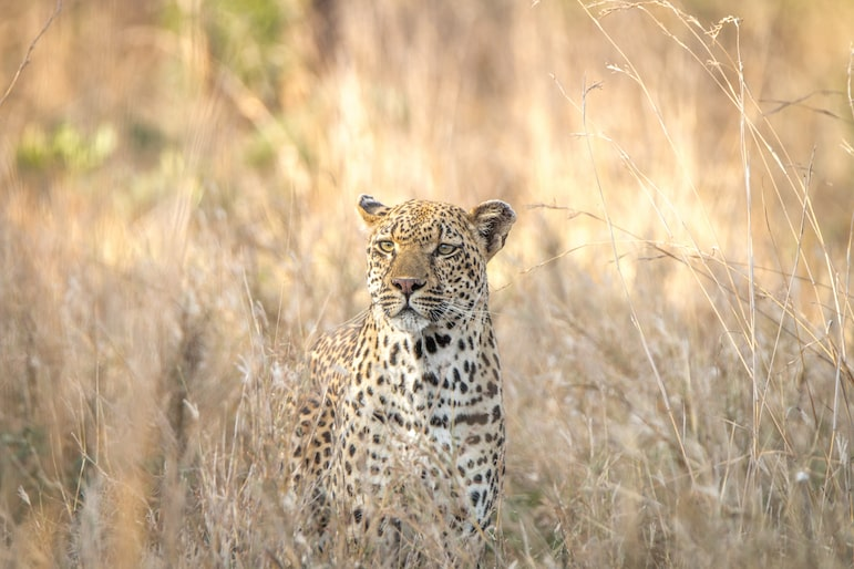Africa's big five - leopard at Kruger National Park in South Africa