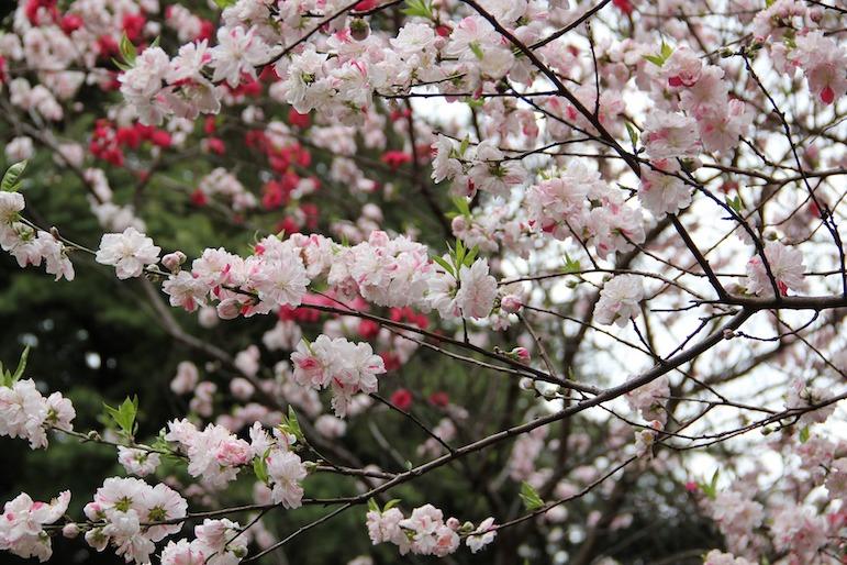 Cherry blossom | Pic merdanata