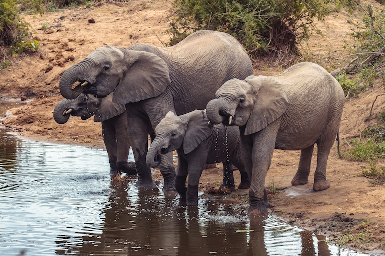 Elephants at Kruger National Park, South Africa, one of Africa's big five