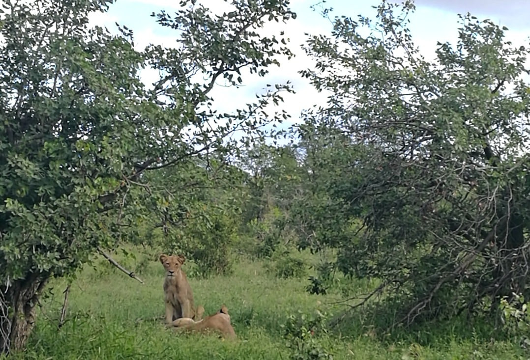 Lions in Kruger National Park, South Africa, one of Africa's big five