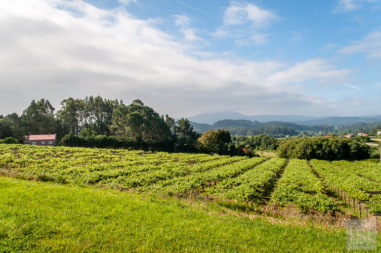 The vineyards of Rías Baixas - one of the most popular Spanish wine regions