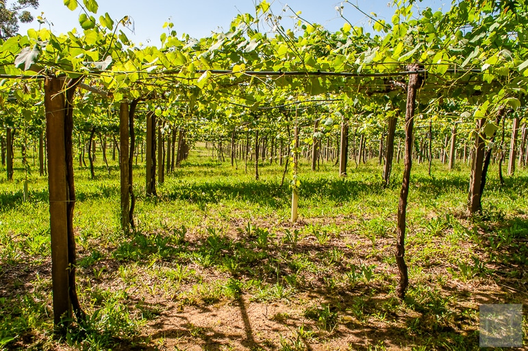 Spanish wine regions - pergola style vines in the Rías Baixas