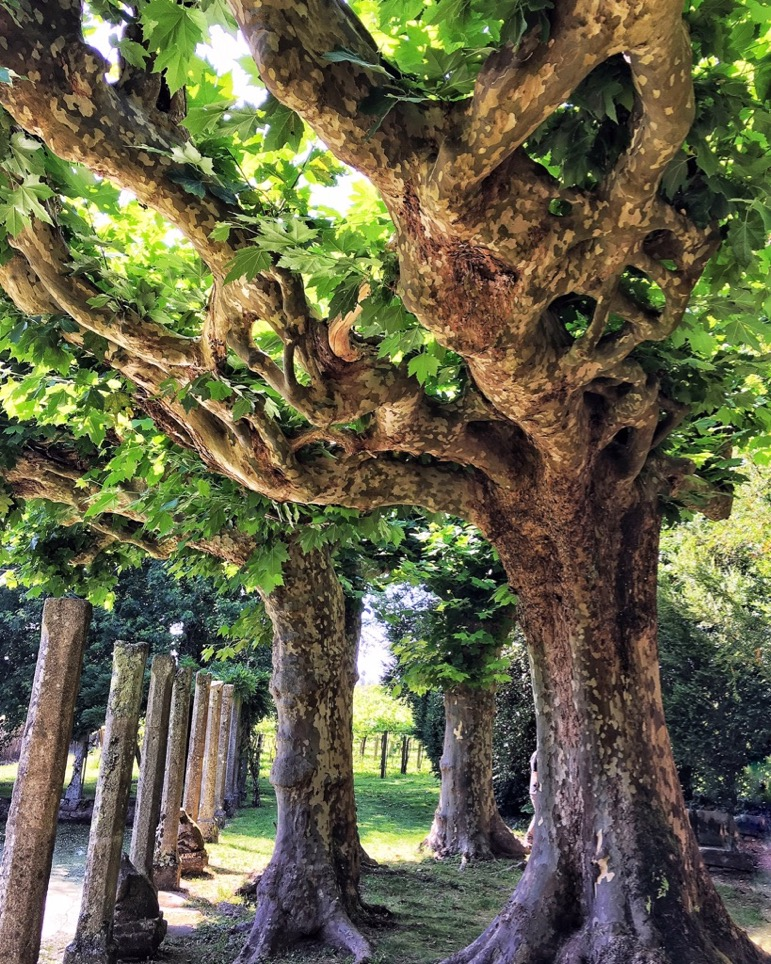 Spanish wine regions - unusual trees in the gardens at Pazo de Rubianes, in Rías Baixas