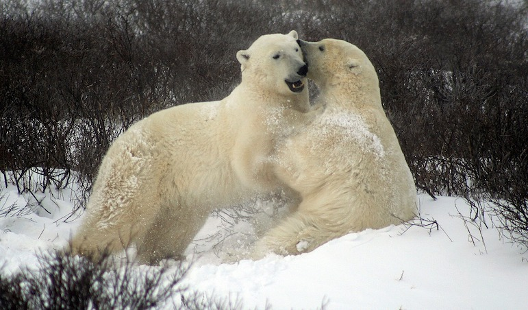 Incredible things to do in Winnipeg - Witness polar bears in their natural habitat in Churchill Manitoba Canada