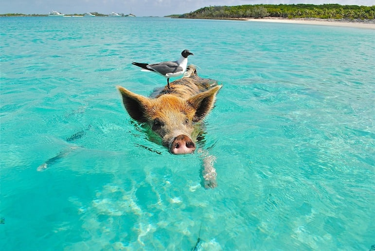 Observe the swimming pigs in the Bahamas