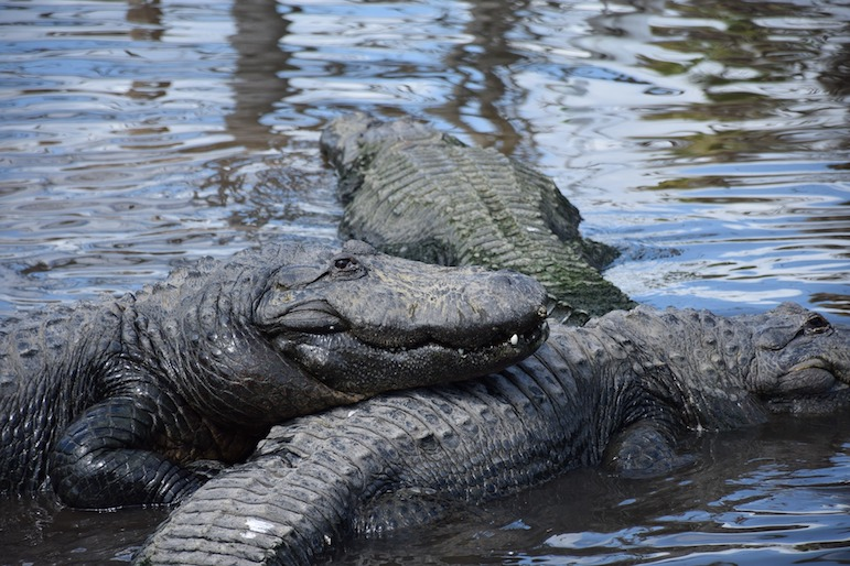 Consider local attractions to save money on some of the major parks. Get up close to Florida's resident alligators
