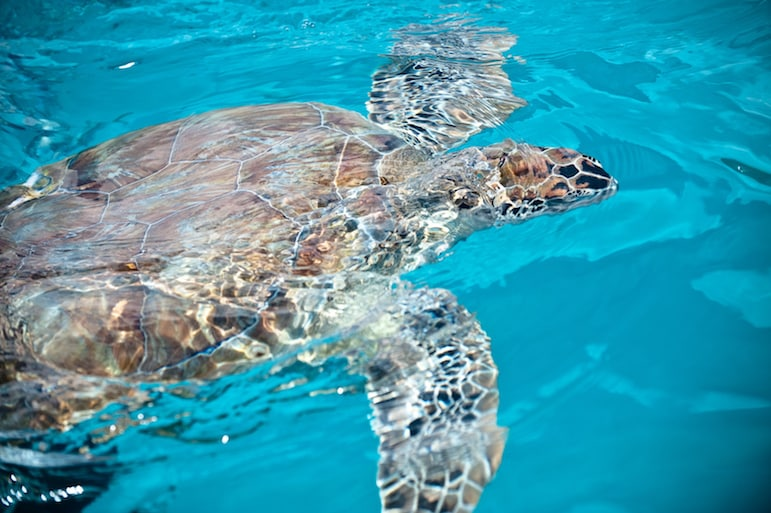 Go snorkelling and try and spot turtles on the shores around Barbados   Pic Sean O'Shaughnessy
