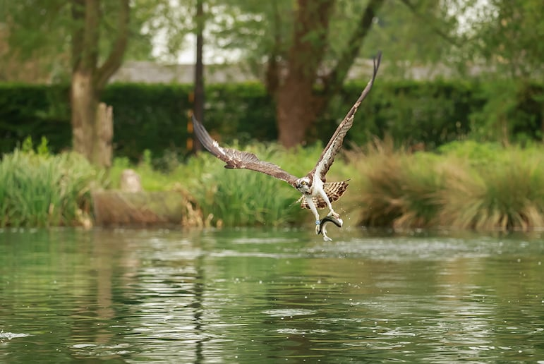 Rutland Water is a breeding sight for Ospreys
