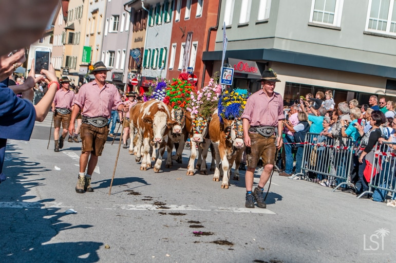The annual cattle drive comes through Kufstein in the Tirolean Alps