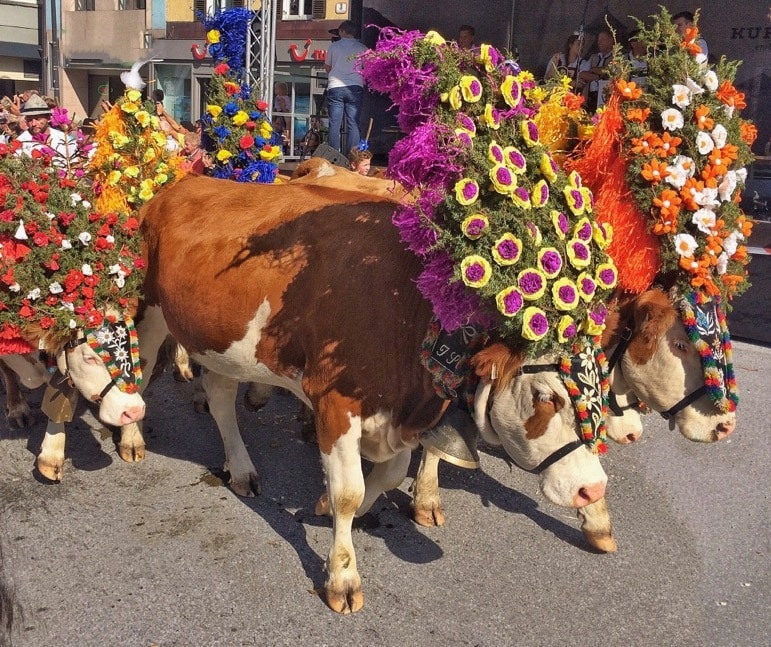 The annual colourful cattle drive in Kufstein in the Tirolean Alps
