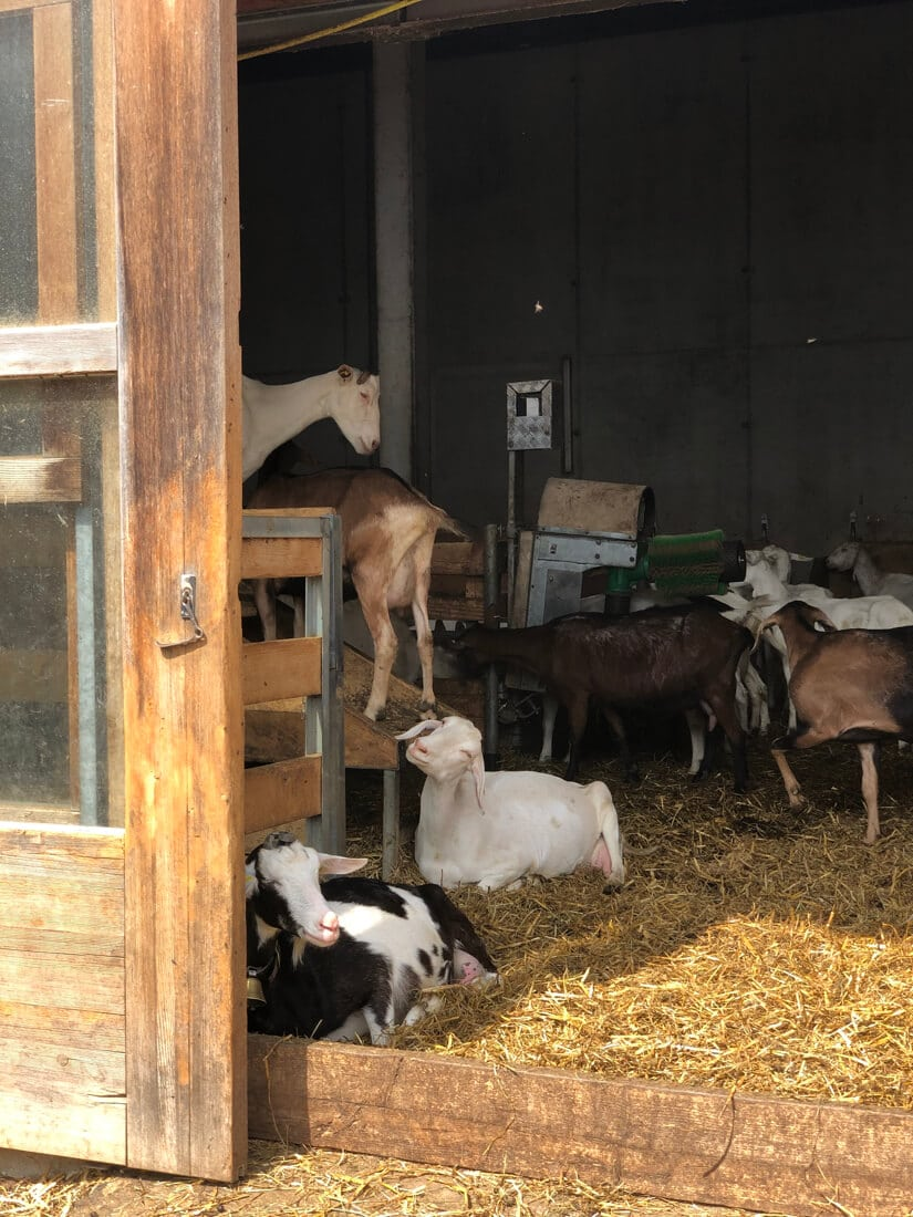 Goats at the Metzler dairy produce milk for our cheesemaking class