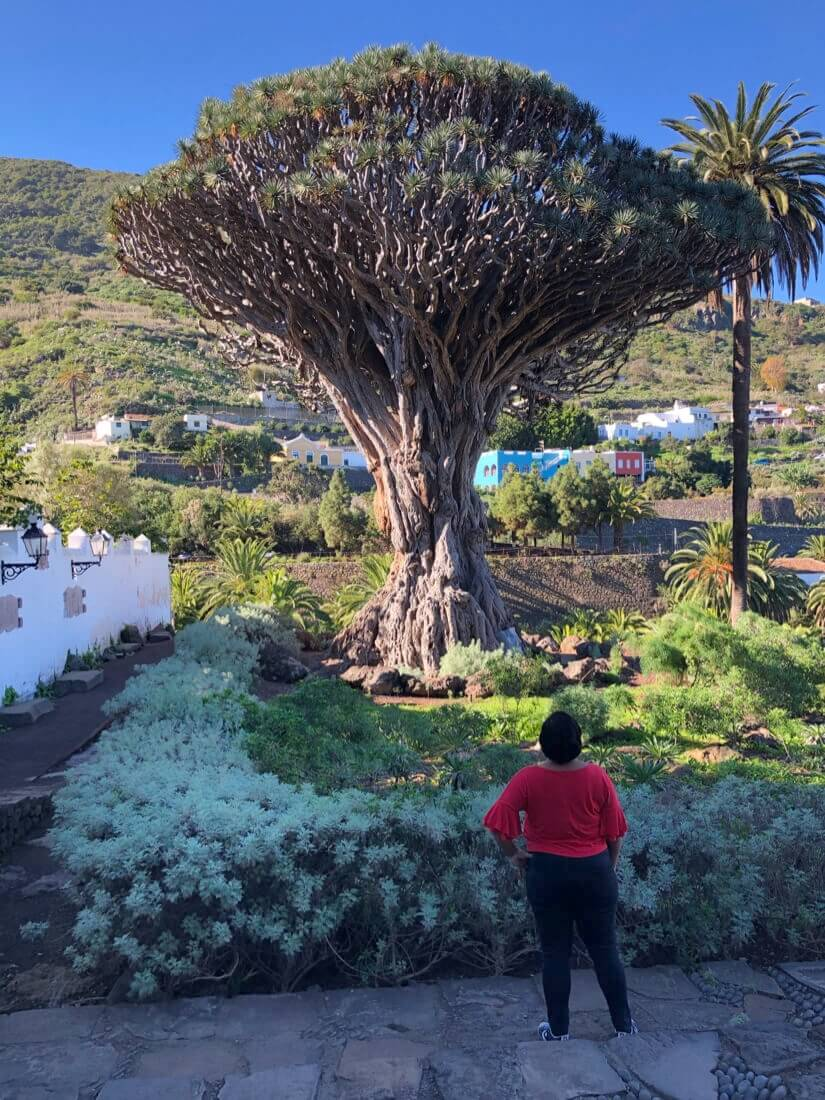 Ancient drago tree in Tenerife